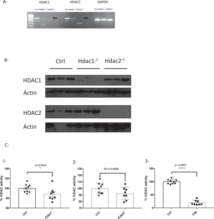 Hdac1 or Hdac2 depletion reduces enteroid histone deacetylase activity. ( A ) Total RNA was isolated from 5-day cultured control, Hdac1 - and Hdac2 -deficient enteroids. Hdac1 and Hdac2 mRNA levels were determined by semi-quantitative RT-PCR, with Gapdh as a loading control. ( B ) Total protein extracts from control, Hdac1 - and Hdac2 -deficient enteroids were separated on SDS-PAGE gels for Western blot analysis, and selected proteins were revealed with specific antibodies against HDAC1 and HDAC2, and against β-ACTIN as a loading control. Cropped images for HDAC1 and β-ACTIN are from immunoblotting experiments on the same membrane. Cropped images for HDAC2 and β-ACTIN are from immunoblotting experiments on another membrane. Full-length blots are presented in Supplementary Fig. S8 (n = 3). ( C ) 7.5 µg of nuclear proteins from control, Hdac1 - and Hdac2 -deficient enteroids were used to measure deacetylase activity with a colorimetric HDAC assay kit. Treatment with Trichostatin A, a pan-inhibitor of HDAC activity, was used as a control (n = 3; 2 or 3 wells for each). Results represent the mean ± SD (*p ≤ 0.05; ****p ≤ 0.0001).
