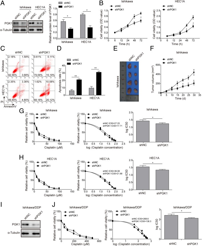 PGK1 knockdown inhibits proliferation and enhances cisplatin sensitivity in endometrial cancer cell lines. a . Western blot was performed to confirm knockdown of PGK1 in endometrial cancer cell lines (Ishikawa and HEC1A). α-tubulin was used as a loading control. b . MTT assay was used to evaluate the effects of PGK1 knockdown on cell viability in endometrial cancer cell lines (Ishikawa and HEC1A). c - d . Flow cytometry was used to assess the effect of PGK1 knockdown on apoptosis of endometrial cancer cells (Ishikawa and HEC1A). e - f . Effect of PGK1 knockdown on tumor growth in a Ishikawa cell-induced xenograft endometrial cancer model. g . MTT assay was used to evaluate the effect of PGK1 knockdown on the sensitivity of Ishikawa endometrial cancer cell line to cisplatin and the IC 50 value was calculated using GraphPad Prism 6. h . MTT assay was used to test the effect of PGK1 knockdown on the sensitivity of HEC1A endometrial cancer cell line to cisplatin and the IC 50 value was calculated using GraphPad Prism 6. i . Western blot was performed to confirm knockdown of PGK1 in cisplatin-resistant endometrial cancer cell line (Ishikawa/DDP). j . MTT assay was used to evaluate the effect of PGK1 knockdown on the sensitivity of Ishikawa/DDP cell line to cisplatin and the IC 50 value was calculated using GraphPad Prism 6. Data were shown as mean ± SD based on three independent experiments. *, P