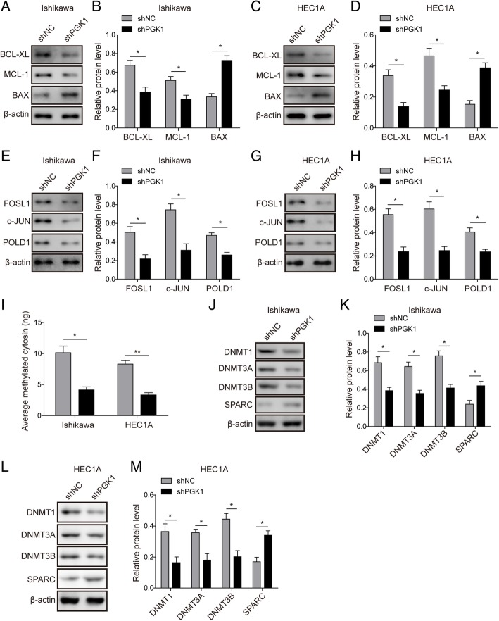 PGK1 knockdown reduces the expression of DNA repair-related proteins, methylation-related enzymes, and total cellular methylation level. a . Western blot was used to detect the expression of pro-survival proteins (Bcl-xL, Mcl-1) and pro-apoptotic protein (Bax) in Ishikawa endometrial cancer cell line. β-actin was used as a loading control. b . Semi-quantitative analysis of protein level in A. c . Western blot was used to detect the expression of pro-survival proteins (Bcl-xL, Mcl-1) and pro-apoptotic protein (Bax) in HEC1A endometrial cancer cell line. β-actin was used as a loading control. d . Semi-quantitative analysis of protein level in C. e . Western blot was used to detect the expression of DNA repair-related proteins c-JUN, FOSL1, and POLD1 in Ishikawa endometrial cancer cell line. β-actin was used as a loading control. f . Semi-quantitative analysis of protein level in A. g . Western blot was used to detect the expression of DNA repair-related proteins c-JUN, FOSL1, and POLD1 in HEC1A endometrial cancer cell line. β-actin was used as a loading control. h . Semi-quantitative analysis of protein level in C. i . Western blot was performed to determine the effect of PGK1 knockdown on the total intracellular methylation levels (amount of average methylated cytosine). j . Western blot was used to examine the effect of PGK1 knockdown on the expression of DNA methyltransferases (DNMT1, DNMT3A, and DNMT3B) and SPARC in Ishikawa cancer cell line. β-actin was used as a loading control. k . Semi-quantitative analysis of protein level in F. l . Western blot was used to examine the effect of PGK1 knockdown on the expression of DNA methyltransferases (DNMT1, DNMT3A, and DNMT3B) and SPARC in HEC1A endometrial cancer cell line. β-actin was used as a loading control. m . Semi-quantitative analysis of protein level in H. Data were shown as mean ± SD based on three independent experiments. *, P