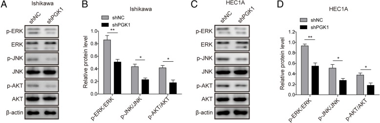 PGK1 knockdown inhibits phosphorylation of JNK, ERK, and AKT pathway. a . Western blot was performed to evaluate the effects of PGK1 knockdown on phosphorylation levels of JNK, ERK, and AKT in Ishikawa cancer cell line. β-actin was used as a loading control. b . Semi-quantitative analysis of protein level in A. c . Western blot was performed to evaluate the effects of PGK1 knockdown on phosphorylation levels of JNK, ERK, and AKT pathway in HEC1A cancer cell line. β-actin was used as a loading control. d . Semi-quantitative analysis of protein level in C. Data were shown as mean ± SD based on three independent experiments. *, P