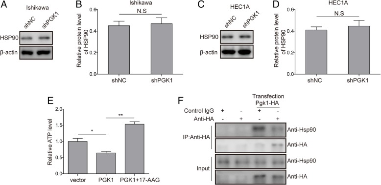 <t>PGK1</t> interacts directly with HSP90 and modulates the ATPase activity of HSP90 . a . Western blot was performed to assess the effects of PGK1 knockdown on expression levels of HSP90 in Ishikawa cancer cell line. β-actin was used as a loading control. b . Semi-quantitative analysis of protein level in A. c . Western blot was performed to assess the effects of PGK1 knockdown on expression levels of HSP90 in HEC1A cancer cell line. β-actin was used as a loading control. d . Semi-quantitative analysis of protein level in C. e . Effect of PGK1 overexpression and HSP90 inhibitor 17-AAG on cellular ATP level. Vector, empty vector; PGK1, vector for PGK1 overexpression; PGK1 + 17-AAG, vector for PGK1 overexpression supplemented with 17-AAG. f . Co-immunoprecipitation was used to detect binding between PGK1 and HSP90. Hemagglutinin (HA)-tagged PGK1 (PGK1-HA) was overexpressed in Ishikawa cells. Data were shown as mean ± SD based on three independent experiments. *, P