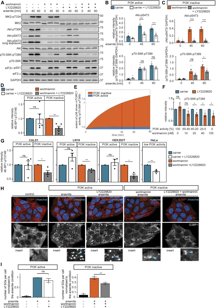 p38 promotes mTORC1 activation and stress granule formation when PI3K is inactive. (A)  p38 mediates mTORC1 activation when PI3K is inactive. MCF-7 cells were serum-starved and treated with arsenite in the presence of carrier (DMSO) or wortmannin (100 nM, PI3K inhibitor). In addition, the cells were treated with carrier (DMSO) versus LY2228820 (1 μM, p38 inhibitor). MK2-pT334, Akt-pT308, Akt-pS473, p70-S6K-pT389, and eIF2α-pS51 were monitored by immunoblot. Data represent five biological replicates.  (B)  Quantification of data shown in (A) when PI3K is active. Akt-pS473 and p70-S6K-pT389 were compared between carrier (DMSO) and LY2228820-treated cells using a two-way ANOVA followed by a Bonferroni multiple comparison test across five biological replicates. Data represent the mean ± SEM. The  P -values for the Bonferroni multiple comparison tests are shown. *** P  ≤ 0.001.  (C)  Quantification of data shown in (A) when PI3K is inactive. Akt-pS473 and p70-S6K-pT389 were compared between wortmannin- and wortmannin + LY2228820–treated cells using a two-way ANOVA followed by a Bonferroni multiple comparison test across five biological replicates. Data represent the mean ± SEM. The  P -values for the Bonferroni multiple comparison tests are shown. * P  ≤ 0.05; *** P  ≤ 0.001.  (D)  p38 drives mTORC1 activity when PI3K is inactive. Quantification of data shown in   Fig S14A . 4E-BP1-pT37/46 relative intensity was normalized separately for conditions without or with wortmannin. Significance of 4E-BP1-pT37/46 inhibition by LY2228820 was tested using a two-tailed  t  test across five biological replicates. Data represent the mean ± SEM. * P  ≤ 0.05.  (E)  Prediction on the extent of mTORC1 inhibition upon LY2228820 treatment when PI3K is active or inactive. Prediction was performed with model V. The red lines depict the time points measured experimentally (  Fig 5A–C ).  (F)  When PI3K activity declines, p38 drives mTORC1 activity. Quantification of data shown in   Fig S13 L. MCF-7 cells were serum-starved and treated with arsenite for 60 min in the presence of different concentrations of wortmannin (as indicated, PI3K inhibitor) in carrier (DMSO) versus LY2228820 (1 μM, p38 inhibitor)-treated cells. p70-S6K-pT389 relative intensity was normalized separately for each wortmannin concentration. Significance of p70-S6K-pT389 inhibition by LY2228820 was tested using a two-tailed  t  test across five biological replicates. Data represent the mean ± SEM. * P  ≤ 0.05.  (G)  p38 drives mTORC1 activity in several cell lines, as PI3K activity declines. Quantification of data shown in   Fig S14D–G . MCF-7, CAL51, LN18, HEK293T, and HeLa cells were serum-starved and exposed to arsenite for 60 min in combination with wortmannin (100 nM, PI3K inhibitor) and/or LY2228820 (1 mM, p38 inhibitor). Data represent 3–4 biological replicates (see   Fig S14D–G ). 4E-BP1-pT37/46 relative intensity was normalized separately for conditions without or with wortmannin. Significance of 4E-BP1-pT37/46 inhibition by LY2228820 was tested using a two-tailed  t  test across three biological replicates. Data represent the mean ± SEM. * P  ≤ 0.05; ** P  ≤ 0.01.  (H)  Stress granule numbers upon PI3K and p38 inhibition. MCF-7 cells were serum-starved and treated with arsenite for 30 min in the presence of carrier (DMSO), wortmannin (100 nM, PI3K inhibitor), LY2228820 (1 μM, p38 inhibitor), or wortmannin + LY2228820. Stress granules were visualized by immunofluorescence staining of G3BP1. Nuclei were visualized with Hoechst 33342. Data represent four biological replicates. White square indicates region of insert and blue arrow highlights stress granules; scale bar 10 μm.  (I)  Quantification of data shown in (H). The number of stress granules (SGs) per cell (normalized to the arsenite condition) across four biological replicates. Stress granule formation between carrier and LY2228820 as well as wortmannin- and wortmannin + LY2228820–treated cells was compared using a two-tailed  t  test across four biological replicates. Data represent the mean ± SEM. * P  ≤ 0.01. ns, not significant.
