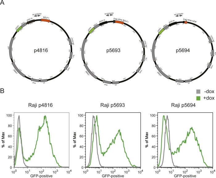 Conditional expression of BZLF1 in Raji cells. (A) The conditional expression plasmid p4816 encodes the unmodified full-length BZLF1 (aa 1–245) protein. The conditional expression plasmids p5693 and p5694 encode FLAG- and tandem Strep-tagged full-length BZLF1 (aa 1–245) and the activation domain (AD) truncated BZLF1 (aa 175–236) protein also termed bZIP, respectively. The bicistronic coding sequences of the tetracycline-controlled repressor rTS and transactivator rtTA2S-M2 are shown. The addition of doxycycline induces bidirectional transcription and concomitant expression of three transgenes: enhanced GFP (eGFP), the human truncated NGF-receptor (tNGF-R), and BZLF1. An internal ribosomal entry site (IRES) separates tNGF-R and eGFP. β-lactamase (amp) and puromycin N-acetyl-transferase (puro) serve as resistance genes in bacteria and Raji cells, respectively. DNA replication in E . coli initiates at the prokaryotic origin of replication (ori). Epstein–Barr nuclear antigen 1 (EBNA1) binds to the origin of plasmid replication (oriP) and supports extrachromosomal DNA replication of the plasmids in Raji cells. (B) The conditional expression plasmids (p4816, p5693, and p5694) were stably introduced into Raji cells, and single-cell clones were selected by limiting dilution, expanded, and analyzed further. GFP expression in Raji cells was a measure of the induced expression of BZLF1. Upon addition of 100 ng/ml doxycycline to the cells for 15 h, GFP expression was analyzed by flow cytometry.