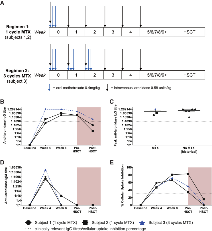 Immune Tolerance Induction with Methotrexate in Hurler Syndrome Study Schedule and Antibody Responses to Laronidase in MPS I Hurler Patients (A) Immune tolerance induction with methotrexate in Hurler syndrome study schedule. The first two participants were allocated to regimen 1 (1 cycle of methotrexate). A subsequent participant was allocated to regimen 2 (3 cycles of methotrexate). Each cycle comprised three doses of 0.4 mg/kg methotrexate administered orally around an infusion of laronidase (60 min prior to infusion, 24 h after infusion, and 48 h after infusion). (B) All participants developed high titers of IgG to laronidase despite the methotrexate regimen. An antibody response was evident by week 4, and a relative reduction in antibody titers was evident post-HSCT. (C) Peak anti-laronidase IgG titers were comparable to those seen in a historical longitudinal study 11 of antibody responses to laronidase. (D) An IgM response was evident by week 4 in all participants, including subject 3 who received methotrexate for 3 cycles (week 4 time point was