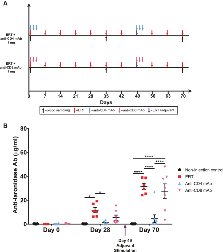 Anti-laronidase IgG Antibodies in MPS I Mice Treated with Either Anti-CD4 or Anti-CD8 Monoclonal Antibody (A) All MPS I mice from the treatment group (n = 8) received 0.58 mg/kg laronidase for 10 weeks. Laronidase delivered on day 49 was delivered in adjuvant. They were given either anti-CD4 monoclonal antibody or anti-CD8 monoclonal antibody at 0, 24, and 48 h after the first laronidase treatment and at 0, 24, and 48 h after the adjuvant stimulation. Serum samples were taken on days 0, 28, 42, and 70 for antibody analysis. Mice were sacrificed on day 70. (B) Anti-laronidase IgG antibody levels were measured in all serum samples using ELISA. Data are shown as mean ± SEM, two-way ANOVA; *p