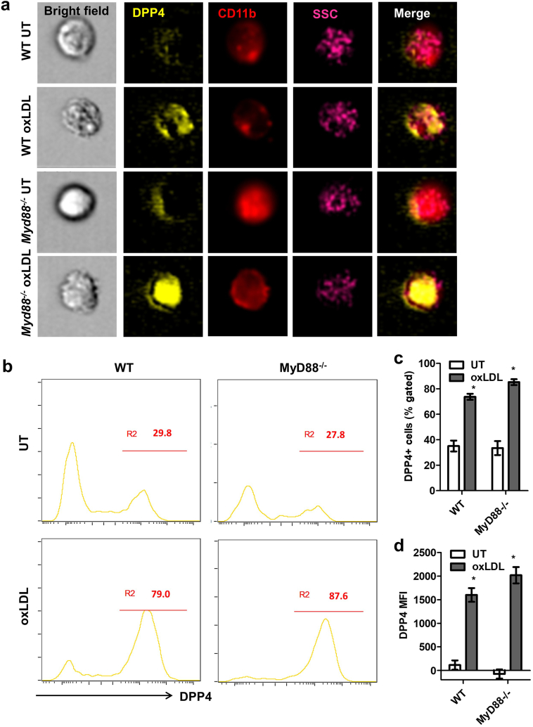 MyD88 signaling is not responsible for oxLDL-induced DPP4 up-regulation. Bone marrows isolated from wild-type (WT) or Myd88 −/− mice were used for the induction of BMMs. The expressions of DPP4 on both WT and Myd88 −/− BMMs were detected by imaging flow cytometry after 24-h treatment of 25 μg/mL oxLDL. Representative images ( A ), histograms ( B ) and statistical analysis of DPP4 + macrophage frequency ( C ) or DPP4 MFI ( D ) are shown. *, p