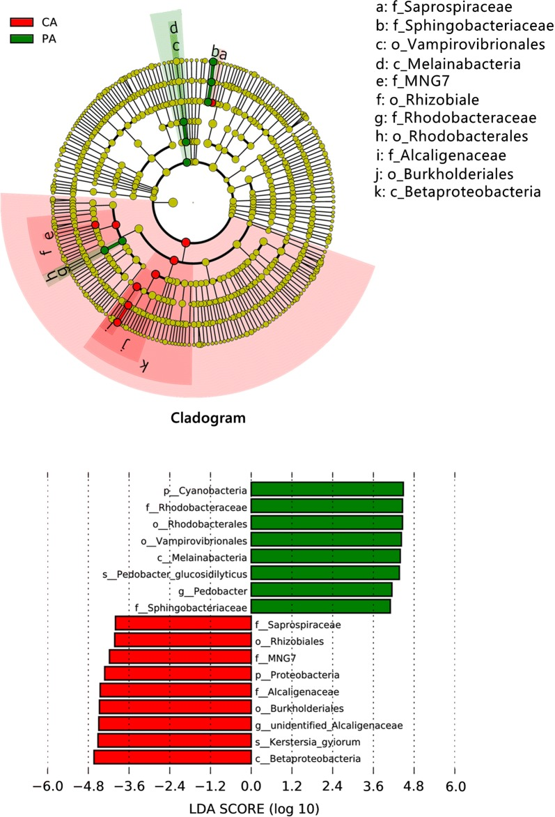 LEfSe analysis identified the most differentially abundant taxa between CA and PA. The taxonomic cladogram was obtained from LEfSe analysis of <t>16S</t> <t>rRNA</t> sequences; only taxa meeting an LDA significance threshold of 4.0 are shown. Small circles and shading with different colors in the diagram represent the abundance of those taxa in the respective group. Yellow circles represent nonsignificant differences in abundance between CA and PA for that particular taxonomic group. The brightness of each dot is proportional to its effect size. Taxa enriched in PA are shown with a positive LDA score (green) and taxa enriched in CA have a negative score (red). CA means sparging air; PA means culturing C. pyrenoidosa with sparging air