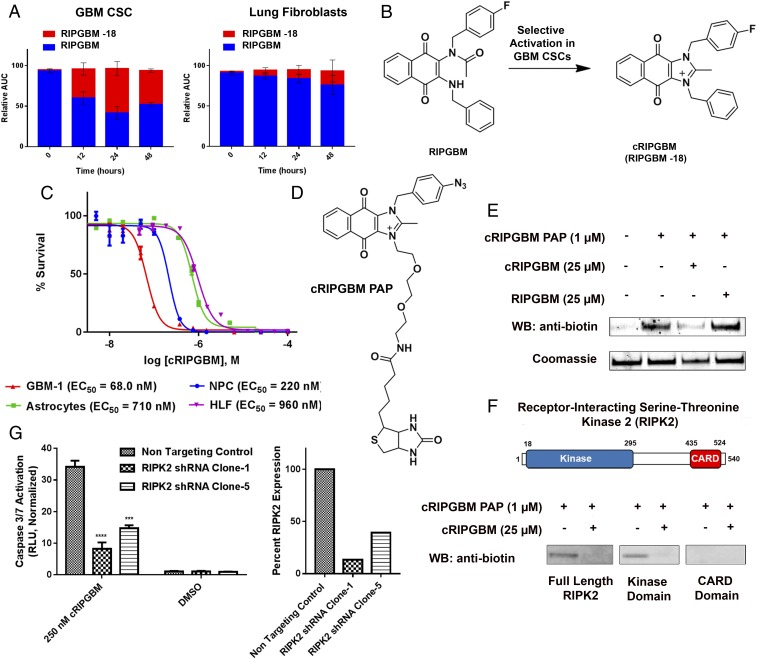A metabolite of RIPGBM induces apoptosis in GBM CSCs by interacting with RIPK2. ( A ) <t>Orbitrap</t> MS-based metabolite identification studies in GBM-1 (GBM CSC) or primary HLF cells incubated with RIPGBM (1 μM) for 0, 12, 24, or 48 h. ( B ) Structure of the cyclized RIPGBM metabolite cRIPGBM generated in GBM CSCs. ( C ) Cell survival curves for GBM CSCs (GBM-1), human NPCs, primary human astrocyte cells, and HLFs treated with cRIPGBM for 48 h. ( D ) Structure of PAP reagent cRIPGBM-PAP. ( E ) In vitro binding of cRIPGBM-PAP to recombinant human full-length RIPK2 protein in the presence or absence of competition using underivatized cRIPGBM or RIPGBM. ( F ) Domain structure of RIPK2 and in vitro binding of cRIPGBM-PAP to recombinant full-length, truncated kinase domain, or truncated CARD domain human RIPK2 protein. ( G ) cRIPGBM-induced apoptosis in GBM-1 GBM CSCs following shRNA-mediated RIPK2 gene knockdown. Values shown are mean ± SD (* P