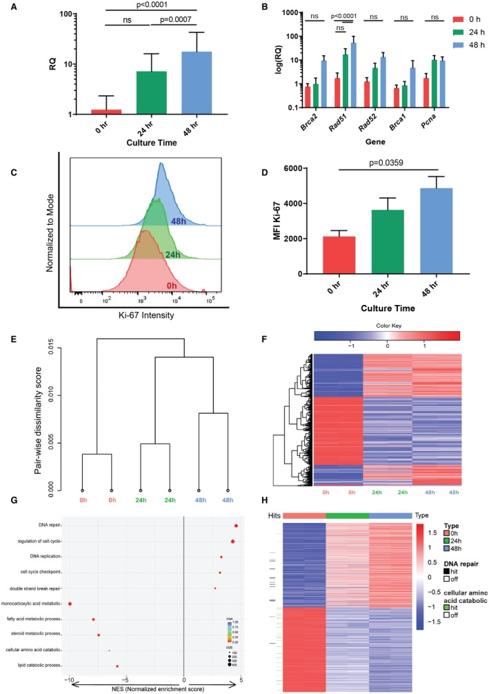 Ex vivo reprogramming of cultured hepatocytes up‐regulates DNA repair pathways. (A) Averaged relative quantification values showing expression levels of five genes involved in homologous recombination ( Brca1 , Brca2 , Rad51 , Rad52 , and Pcna ) relative to the length of culture as determined by comparative qPCR on RNA isolated from primary hepatocytes. Samples are standardized to B2m expression. (B) Deconvolution of these five genes, showing consistent up‐regulation over time. (C) Representative histogram of Ki‐67 intensity in primary hepatocytes after increasing time in culture, with peak heights normalized to mode of sample. (D) Quantification of mean fluorescence intensity in biological replicates (n = 2). (E) Hierarchical clustering of six RNA‐Seq samples at three different time points (0 hours, 24 hours, and 48 hours). The 24‐hour and 48‐hour time points are more similar to one another than either is to 0 hours. (F) Heat map of gene expression in all samples for differentially expressed genes between times 0 hours and 48 hours (n = 5,254). (G) Enrichment analysis of highly affected gene sets clustered by biologic functions between cells in culture for 48 hours relative to 0 hours. (H) Detailed enrichment summary illustrating differences in the regulation of two selected Gene Ontology function annotations of interest—DNA repair (horizontal black bars on the left) and cellular amino acid catabolic process (horizontal green bars on the left)—among the three time points collected (presented by column). The heat map includes the top and bottom 500 differentially expressed genes ranked by fold change between times 0 hours and 48 hours. Individual DNA repair genes are up‐regulated, whereas individual cellular and amino acid catabolic process genes are down‐regulated in the 24‐hour and 48‐hour groups. Abbreviations: FDR, false discovery rate; and ns, not significant at α = 0.05.