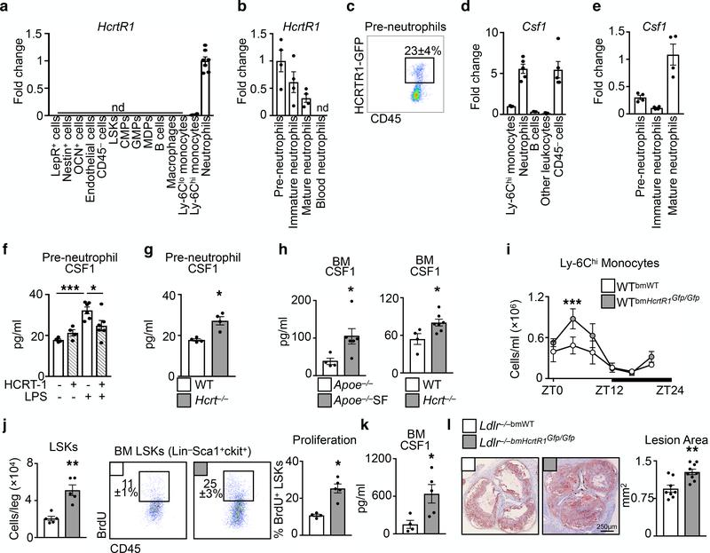 Hypocretin controls pre-neutrophil CSF1 production in the bone marrow. Hypocretin receptor-1 ( Hcrtr1 ) mRNA in cells sorted from bone marrow (n=4 except neutrophils n=7). b , HcrtR1 mRNA expression in bone marrow and blood neutrophil populations (n=4). c , Flow cytometry plot of HCRTR1 + pre-neutrophils in the bone marrow of WT mice transplanted with HcrtR1 Gfp/Gfp BM. d , Colony stimulating factor-1 ( Csf1 ) expression in sorted bone marrow cells (for Ly-6C hi monocytes, B cells, and other leukocytes n=3; for neutrophils and <t>CD45</t> − cells n=5). e , Csf1 expression in sorted bone marrow neutrophil populations (n=4). f , CSF1 production by pre-neutrophils sorted from WT mice exposed to LPS and/or HCRT-1 (for untreated and HCRT-1 n=4 per group; for LPS and LPS+HCRT-1 n=6 per group) *p