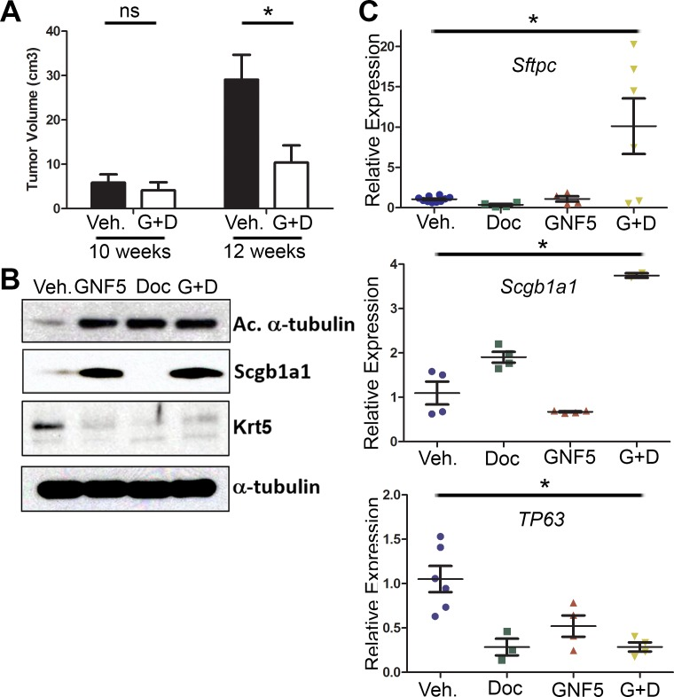 Combination treatment of GNF5 and docetaxel induces lung tumor cell differentiation in vivo GFP+ cells were isolated from KRAS LSL-G12D ; p53 fl/fl ; Rosa26-fGFP mice two weeks after treatment with vehicle, docetaxel, GNF5, or combination treatment and 12 weeks after induction of tumors with adenovirus. A. Quantification of total tumor volume in bilateral lungs evaluated by μ-CT scans taken before (10 weeks) and after (12 weeks) treatment with vehicle or combination therapy (GNF5 + docetaxel) shows that combination treatment significantly impairs tumor growth in mice compared to vehicle treated mice ( n = 11 mice per group). B. Western blot analysis showed an increase in expression of the ciliated cell marker, acetylated α-tubulin, and the secretory cell marker, Scgb1a1, with a corresponding decrease in expression of the basal cell marker, keratin 5, in mice treated with GNF5 and docetaxel. C. RT-qPCR analysis for indicated cell treatment groups shows an increase in expression of terminal cell markers ( Sftpc : Type II cell marker and Scgb1a1 : secretory cell marker) with a corresponding decrease in expression of the basal cell marker, TP63 , in mice treated with the combination therapy compared to control or mice treated with GNF5 or docetaxel alone ( n = 4-6 mice per group, each RT-PCR assay performed in triplicate). Graphs depict means and S.E.M.