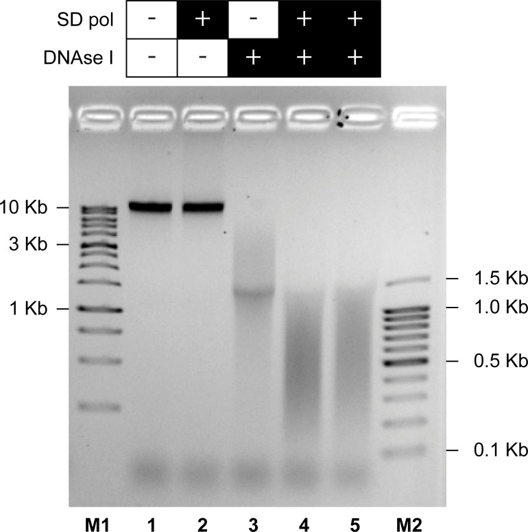 Agarose-gel electrophoresis of gDNA fragmented by the FTP method. gDNA of E . coli BL21 was incubated as described in Materials and Methods: without enzymes (lane 1), with SD polymerase (lane 2), with DNase I (lane 3), and with both DNase I and SD polymerase (lane 4 and 5). M1: 1 kb DNA Ladder; M2: 100 bp DNA Ladder.