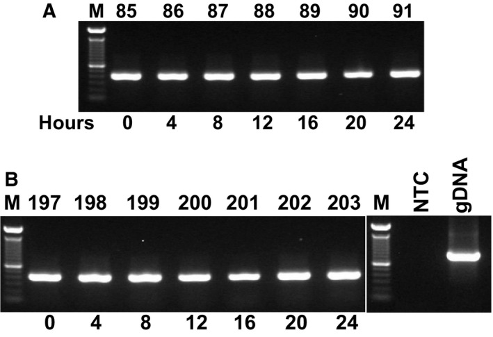 Conventional PCR with G3pdh primers was performed using cDNA that was reverse‐transcribed from total RNA after extraction using the present protocol. Tissue samples were taken from HMC ‐1 (A) and Esparrago ( ESP ; (B) genotypes (Manihot esculenta) that were grown under long‐day ( LD ) conditions for indicated times; M: 1 Kb ladder; 85: HMC ‐1, 0 h LD ; 86: HMC ‐1, 4 h LD ; 87: HMC ‐1, 8 h LD ; 88: HMC ‐1, 12 h LD ; 89: HMC ‐1, 16 h LD ; 90: HMC ‐1, 20 h LD ; 91: HMC ‐1, 24 h LD ; 197: ESP , 0 h LD ; 198: ESP , 4 h LD ; 199: ESP , 8 h LD ; 200: ESP , 12 h LD ; 201: ESP , 16 h LD ; 202: ESP , 20 h LD ; 203: ESP , 24 h LD ; NTC : non‐template negative control (water template), and gDNA : cassava genomic DNA.