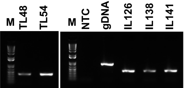 Conventional PCR using primers for G3pdh and cDNA from total RNA that was extracted from various tissues of the ESP genotype grown in pots and in vitro at 15 °C and 30 °C under LD conditions for 16 h inside growth chambers. Biological repeat 1: left panel; M, 1 Kb ladder; TL 48, buds and young leaves from potted plants at 15 °C; TL 54, stems from potted plants grown at 15 °C; right panel, NTC , negative control, water template; gDNA , cassava genomic DNA ; IL 126, roots from in vitro samples grown at 30 °C; IL 138, leaves from in vitro samples grown at 30 °C; biological repeat 2: IL 141, stems from in vitro samples grown at 30 °C. See Fig. S2 for complete PCR analyses of total RNA from potted and in vitro samples.