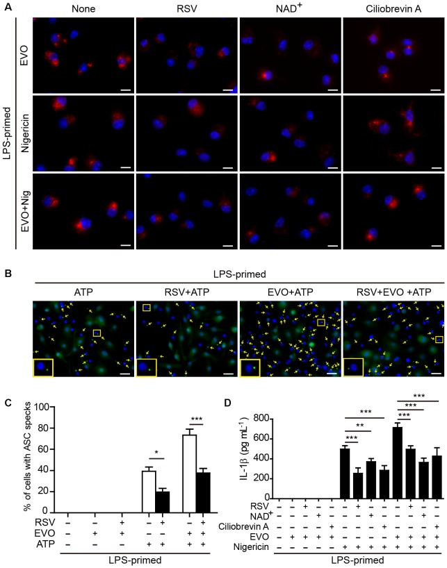Evodiamine-mediated enhancement of ATP- or nigericin-induced NLRP3 inflammasome activation was attenuated by blocking acetylation of α-tubulin. (A) LPS-primed BMDMs were pre-treated with resveratrol (5 μM), NAD + (10 μM) or ciliobrevin A (30 μM) for 30 min, and then incubated with evodiamine (5 μM) for 1 h, or followed by stimulation with nigericin (5 μM) for 1 h. Representative immunofluorescence images showing acetylated α-tubulin (red) subcellular distribution. Nuclei (blue) were revealed by Hoechst 33342. The images for acetylated α-tubulin and nuclei were captured, respectively, and merged together. Scale bars, 10 μm. (B) LPS-primed BMDMs were pre-treated with resveratrol (5 μM) for 30 min, and then incubated with indicated dose of evodiamine for 1 h, followed by stimulation with ATP (2 mM) for 30 min. Representative images showing ASC (green) subcellular distribution. The images for ASC and nuclei were captured, respectively, and merged together. Yellow arrows indicate ASC specks and the enlarged inset showing cells with an ASC speck. Scale bars, 20 μm. (C) Percentages of cells with an ASC speck relative to the total number of cells from 5 random fields (one field per well) each containing ∼200 cells. Data are shown as mean ± SD ( n = 5). ∗ P