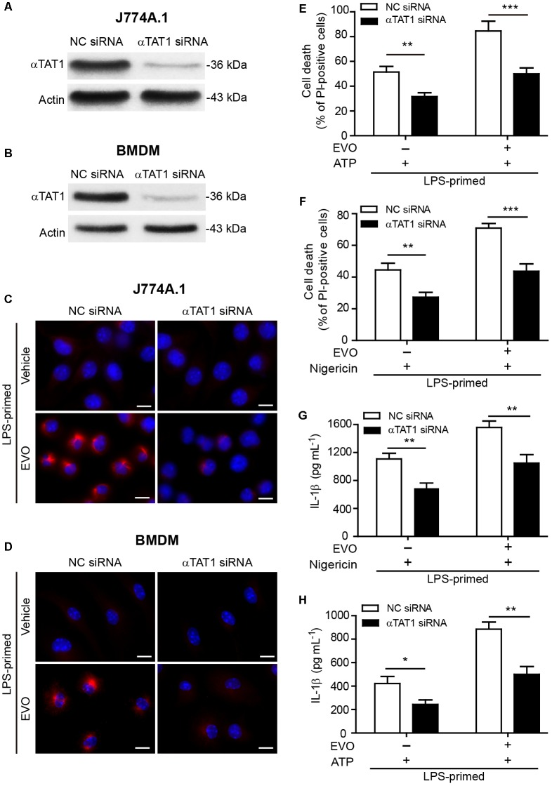 Knockdown of αTAT1 attenuated evodiamine-mediated enhancement of ATP- or nigericin-induced NLRP3 inflammasome activation and pyroptosis in macrophages. (A–D) J774A.1 cells and BMDMs were knocked down by small-interfering RNA (siRNA) targeting αTAT1 gene (αTAT1 siRNA). Negative control siRNA (NC siRNA) was recruited as a knockdown control. 72 h after knockdown, J774A.1 cells (A) and BMDMs (B) were lysed and analyzed by Western blotting. Actin was used as a loading control for cell lysates. After αTAT1 knockdown, J774A.1 cells (C) and BMDMs (D) were primed with LPS (500 ng/ml) for 4 h, then treated with evodiamine (5 μM) for 1 h. Representative immunofluorescence images showing acetylated α-tubulin (red) subcellular distribution. Nuclei (blue) were revealed by Hoechst 33342. The images for acetylated α-tubulin and nuclei were captured, respectively, and merged together. Scale bars, 10 μm. (E–H) J774A.1 cells (E,G) and BMDMs (F,H) were treated with αTAT1 siRNA as in a. Cells were primed with LPS (500 ng/ml) for 4 h and then pre-treated with evodiamine (5 μM) for 1 h, followed by incubation with ATP (3 mM) for 1 h (E) or nigericin (5 μM) for 1 h (F) in the absence of LPS. (E,F) Cell death was measured by staining with propidium iodide (PI) (red, staining dead cells) and Hoechst 33342 (blue, staining total cells) together for 10 min. PI-positive cells were quantified by counting 5 randomly chosen fields (one field per well) containing around 100 cells each. (G,H) The levels of soluble IL-1β in the culture supernatants were detected by cytometric bead array assay. The experiments were performed three times independently. Data are shown as mean ± SD ( n = 5). ∗ P