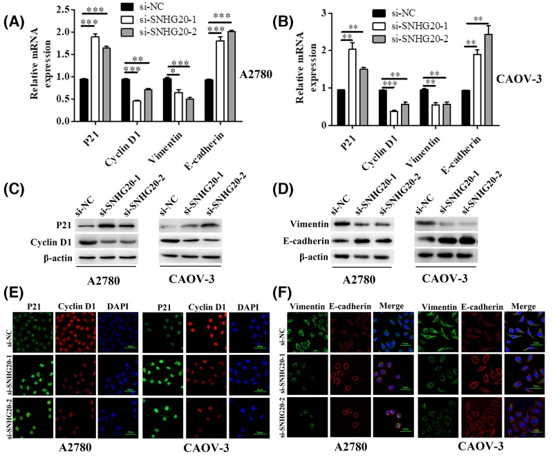 SNHG20 knockdown regulated several genes related to proliferation and metastasis ( A , B ) The mRNA level of P21, <t>Cyclin</t> D1, Vimentin, and E-cadherin was detected by qRT-PCR in A2780 and CAOV-3 cells transfecting with si-SNHG20-1 or -2 (* P