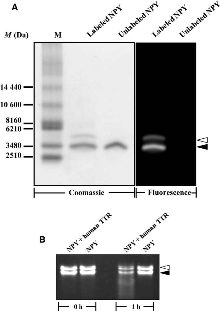 Characterization of fluorogenic human amidated <t>NPY</t> . (A) Aliquots of unlabeled and <t>Alexa</t> Fluor‐labeled human amidated NPY were subjected to analysis by SDS / PAGE . To detect the peptide bands, gel was subjected to Coomassie Blue staining (Coomassie). The fluorescence of the labeled peptide was observed by placing the gel under UV light (Fluorescence). M, standard peptide marker. The positions of lower and upper bands of the labeled NPY are indicated by closed and opened arrowheads, respectively. (B) The labeled human amidated NPY was incubated with or without human native TTR at 37 °C, for 1 h. Then the reaction mixture was analyzed by SDS / PAGE .