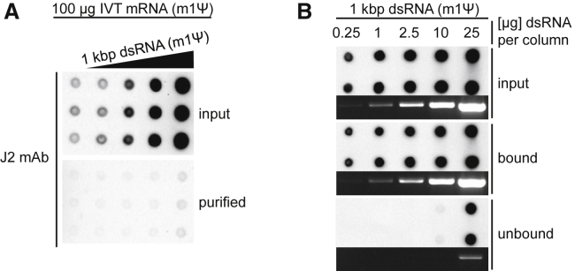 Removal of Long <t>dsRNA</t> from IVT mRNA by Cellulose Chromatography (A) Purified, m1Ψ-containing, 1.0-kb-long mRNA was spiked with a 1-kb-long m1Ψ-containing dsRNA at final concentrations of 0.02–20 ng dsRNA/μg mRNA. 100 μg dsRNA-spiked mRNA sample was purified using microcentrifuge spin columns filled with 0.14 g cellulose. The purified mRNA recovered from the flowthrough, unbound fraction and the unpurified input mRNAs (1.0 μg/dot) were analyzed on dot blot. (B) The indicated amounts of 1 kb dsRNA containing m1Ψ were subjected to cellulose purification using microcentrifuge spin columns filled with 0.14 g cellulose. Aliquots of the dsRNA bound to the cellulose or recovered from the flowthrough fractions (unbound) and the input dsRNA were analyzed on dot blots using J2 dsRNA-specific mAb. Aliquots of the corresponding dsRNA samples were also analyzed in non-denaturing 1.4% agarose gel. The <t>GelRed-stained</t> samples were visualized by UV illumination.