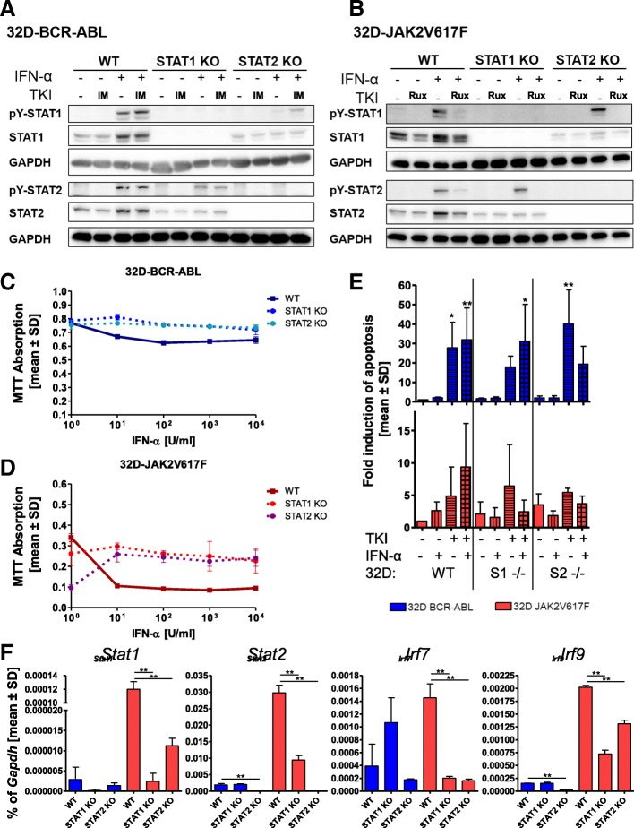 STAT1 or STAT2 knockout alters IFNa responsiveness only in JAK2V617F-positive cells. a 32D-BCR-ABL-WT, 32D-BCR-ABL-STAT1ko, and 32D-BCR-ABL-STAT2ko or b 32D-JAK2V617F-WT, 32D-JAK2V617F-STAT1ko, and 32D-JAK2V617F-STAT2ko cells were treated for 4 h with TKI (1 μM imatinib and ruxolitinib, respectively) or IFNa (100 U/ml) or a combination of both. SDS-Page and Western blotting were performed, and the indicated immunostainings were carried out. GAPDH served as the loading control. c 32D-BCR-ABL-WT, 32D-BCR-ABL-STAT1ko, and 32D-BCR-ABL-STAT2ko or d 32D-JAK2V617F-WT, 32D-JAK2V617F-STAT1ko, and 32D-JAK2V617F-STAT2ko cells were treated with increasing concentrations of IFNa, and cell viability was measured by MTT assay. e Indicated 32D cells were treated with TKI (0.5 μM imatinib and 0.1 μM ruxolitinib, respectively) or IFNa (100 U/ml) or a combination of both for 48 h, due to the rapid growth of untreated BCR-ABL-positive cells. PI staining was performed to discriminate between living and dead cells. Mean values ± SD are depicted. f Measurement of Stat1 , Stat2 , Irf7 , and Irf9 mRNA expression in the indicated cell lines. Expression was calculated as a percentage of Gapdh , and the mean values ± SD are depicted. * p