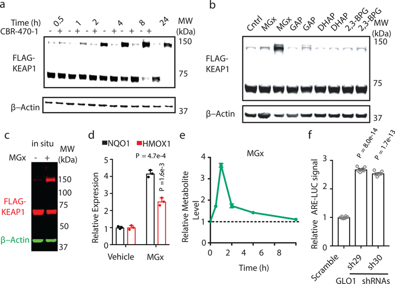 Methylglyoxal modifies KEAP1 to form a covalent, high molecular weight dimer and activate NRF2 signaling. a, Time-course, anti-FLAG Western blot analysis of whole cell lysates from HEK293T cells expressing FLAG-KEAP1 treated with DMSO or CBR-470-1. b, Western blot monitoring of FLAG-KEAP1 migration in HEK293T lysates after incubation with central glycolytic metabolites in vitro (1 and 5 mM, left and right for each metabolite). c, FLAG-KEAP1 (red) and β-actin (green) from HEK293T cells treated with MGx (5 mM) for 8 hr. d, Relative NQO1 and HMOX1 mRNA levels in IMR32 cells treated with MGx (1 mM) or water control ( n =3). e, LC-MS/MS quantitation of cellular MGx levels in IMR32 cells treated with CBR-470-1 relative to DMSO ( n =4). f, ARE-LUC reporter activity in HEK293T cells with transient shRNA knockdown of GLO1 ( n =8). Univariate two-sided t-test ( d, f ); data are mean ± SEM of biologically independent samples.