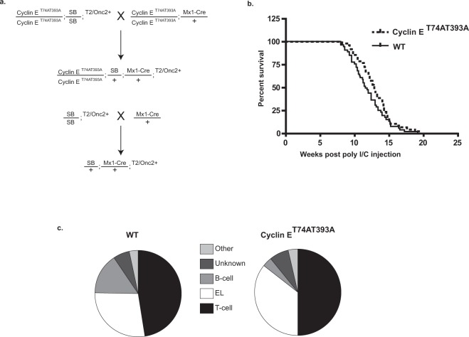 Breeding scheme, survival, and tumor spectrum of Mx-1 sleeping beauty mice. ( a ) Breeding scheme for transposon mutagenesis in cyclin ET74AT393A and wild-type mice. Cyclin ET74AT393A or wild-type mice homozygous for both a T2/Onc transposon array and Cre recombinase-inducible SB transposase allele (T2/Onc2/T2/Onc2; RosaSBLSL/RosaSBLSL) were mated with cyclin ET74AT393A mice heterozygous for Mx-1 Cre to generate cyclin ET74AT393A or wild-type mice with T2/Onc transposon array and Mx-1 Cre recombinase. ( b ) Kaplan Myer survival curve of SB-Cyclin ET74AT393A and SB-wild-type mice following induction of Mx-1 Cre and transpose expression by poly I/C injection. Time indicates intervention due to illness related to hematologic malignancy. Induction of malignancy was completely penetrant in both backgrounds with a median survival of 11.9 weeks post-injection for wild-type and 12.9 weeks for cyclin ET74AT393A mice (p = 0.08). ( c ) Spectrum of hematologic neoplasms that arise in Mx-1 Sleeping beauty mice. Diagnosis was made by a combination of histology and flow cytometry (see text).