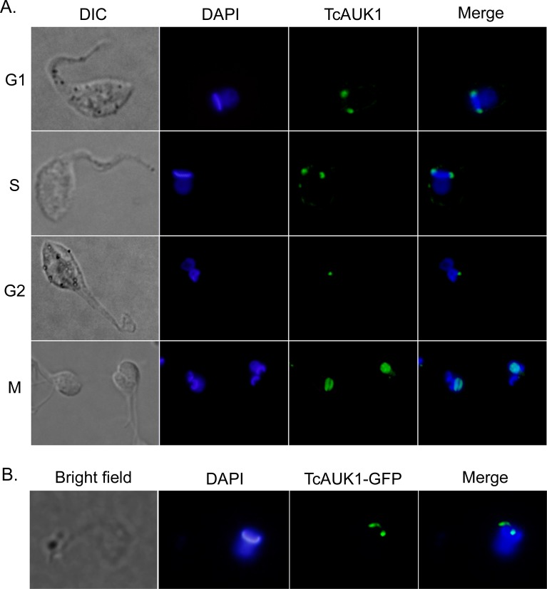 TcAUK1 localization in epimastigote forms. (A) Epimastigote forms were cell cycle synchronized with HU and the indicated cell cycle phases confirmed by flow cytometry. TcAUK1 (rabbit antiserum to TcAUK1) and nucleus/kinetoplast (DAPI). (B) TcAUK1 coding sequence was cloned into pTEXeGFP expression vector and epimastigotes were transfected. Shortly after transfection (24–48 hs), the localization of the fusion protein was evaluated by fluorescence microscopy.