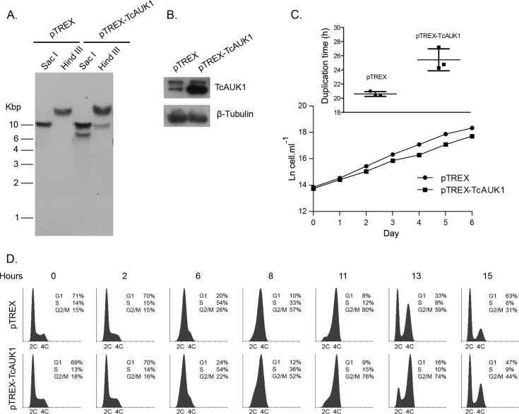 Analysis of <t>TcAUK1</t> overexpressing epimastigotes. (A) Isolated DNA from pTREX and pTREX-TcAUK1 epimastigotes was treated with different restriction endonucleases and analyzed by Southern blot to confirm the extra copy of TcAUK1 in the genome of transgenic cells. (B) Immunoblot against TcAUK1 protein in pTREX and pTREX-TcAUK1 cells extracts. The β-Tubulin protein was used as loading control. (C) pTREX and clonal pTREX-TcAUK1 epimastigotes were cultivated and monitored for cell growth every day. Cell number was plotted in a logarithmic scale and the presented data is a mean ± s.d. of three independent cell cultures. Cells duplication time in each independent culture was calculated and a Paired T test (p
