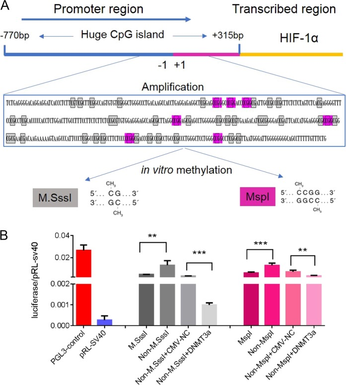 Non-CpHs methylation can silence HIF-1α gene transcription. a Analyzing in vitro DNA-methyltransferase, MSP I and MSss I recognition sites within HIF-1α gene promoter. b The methylation at CpC and CpG sites could cause transcriptional repression of HIF-1α gene by using luciferase activity assay. Data are presented as the means ± SD of three independent experiments. * p