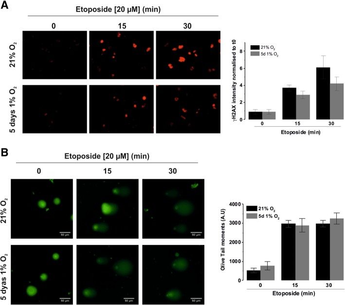 Etoposide efficacy is not affected by hypoxia. D283-MED cells were incubated in 1% O 2 for 5 days or in 21% O 2 prior to etoposide (20 μM) treatment for indicated time points. ( a ) ɣH2AX bound secondary Cy3 antibodies were detected by immunofluorescence, staining intensity was quantified for individual cells using AQM analysis. Data shown are the mean ± S.E.M of three independent experiments ( n > 350 cells). One-way ANOVA followed by Bonferroni test was performed (*indicates p