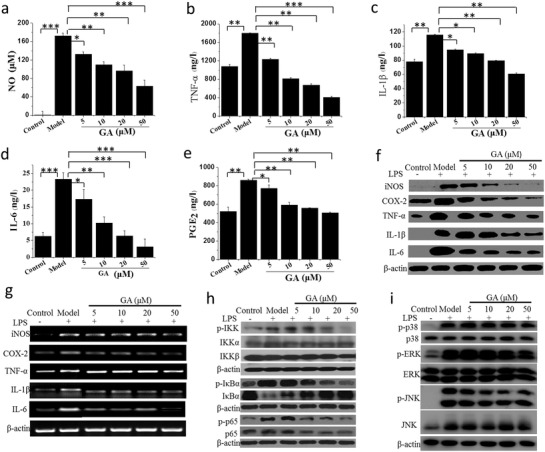 Au clusters synthesized with glutathione as the template (Au 29 SG 27 , designated GA) inhibit the inflammatory response of lipopolysaccharide (LPS )‐stimulated RAW 264.7 cells. a–e) Concentration‐dependent inhibition of inflammatory mediators NO a), TNF‐α b), IL‐1β c), IL‐6 d), and PGE 2 e) in LPS‐stimulated RAW 264.7 cells treated with different concentrations of Au clusters. NO released in the cell supernatants was measured using Griess reagent and an ELISA plate reader. TNF‐α, IL‐1β, IL‐6, and PGE 2 were measured by ELISA analysis. Data ( n = 6, mean ± SD) are representative of at least two independent experiments. f) Concentration‐dependent inhibition of the i‐NOS, COX‐2, TNF‐α, IL‐1β, and IL‐6 protein levels in LPS‐stimulated RAW 264.7 cells measured by western blot analysis. β‐actin was used as an internal control. Images are representative of two experiments. g) Concentration‐dependent inhibition of the i‐NOS, COX‐2, TNF‐α, IL‐1β, and IL‐6 mRNA levels in LPS‐stimulated RAW 264.7 cells analyzed by real‐time RT‐PCR using specific primers. β‐actin was used as an internal control. Images are representative of two experiments. h) Inhibitory effect of different concentration of Au clusters on IKK, IκBα, and p65 phosphorylation in LPS‐stimulated RAW 264.7 cells analyzed by western blotting. β‐actin was used as an internal control. Images are representative of two experiments. i) Inhibitory effect of different concentrations of Au clusters on MAPK signaling pathways in LPS‐stimulated RAW 264.7 cells analyzed by western blotting. β‐actin was used as an internal control. Images are representative of two experiments. Data are presented as the mean ± SD; * p