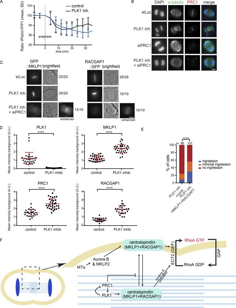 PLK1 suppresses PRC1 to allow dynamic exchange of centralspindlin between the spindle midzone and cell cortex. (A) HeLa cells stably expressing the Tubby-Aurora B FRET sensor and H2B-mCherry were synchronized in G2 using RO3306 and imaged live after release from the Cdk1 inhibitor. 35 min after release, BI2536 (100 nM) was added. The emission ratio at the equatorial cortex was calculated for each time point (interval, 5 min). Mean ± SD of 11 cells is shown. (B) IF for α-tubulin and PRC1 of HeLa cells in anaphase transfected with the indicated siRNAs and treated with or without BI2536. (C) Representative stills of HeLa cells in anaphase with stable inducible expression of GFP::MKLP1 and RACGAP1::GFP and transfected with the indicated siRNAs and treated with or without BI2536 (100 nM). Numbers indicate the number of times the depicted localization was observed/total number of cells that was imaged live. See also Fig. S5 A. (D) Quantification of the IF intensity levels of PLK1, MKLP1, PRC1, and RACGAP1 at the spindle midzone in anaphase (see also Fig. S5 B). Each dot represents an individual cell. One representative experiment out of three is shown. Error bars depict SDs of the mean. ****, P