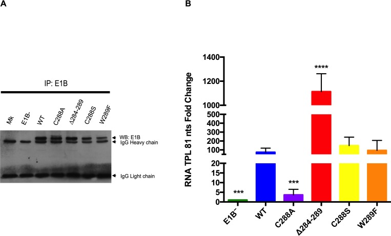 E1B 55K interacts with RNA in Ad5 WT-infected cells and RNP substitutions affect RNA binding. HFF cells infected with the indicated viruses were harvested at 36hpi. E1B 55K was immunoprecipitated with the 2A6 MAb, RNA was isolated and RT qPCR were performed to detect a sequence corresponding to intron 2 in the TPL. (A) Western blot of immunoprecipitated samples with the anti-E1B 55K 2A6 MAb. (B) RT qPCR of immunoprecipitated viral RNA. Immunoprecipitation data was normalized as described in Materials and Methods and it is represented as the percentage of the input RNA. Standard deviations from three independent experiments performed in triplicate are shown. *** P