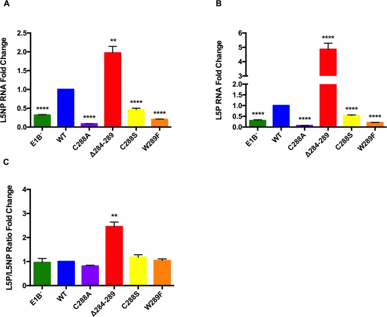 Substitutions in E1B 55K RNP affect viral late mRNA biogenesis. HFF cells infected with Ad5 WT or E1B 55K mutants were harvested at 36 hpi and total RNA was isolated. Viral late pre-mRNA levels were determined for L5 RNA by RT qPCR against an (A) intron-exon (L5NP) or (B) Exon-exon (L5P) junction, for the unspliced and spliced L5 mRNA species, respectively. (C) To compare the splicing efficiency the L5P:L5NP ratios were calculated. β actin mRNA was used as endogenous control. Data from two independent experiments performed in triplicate are shown. ** P
