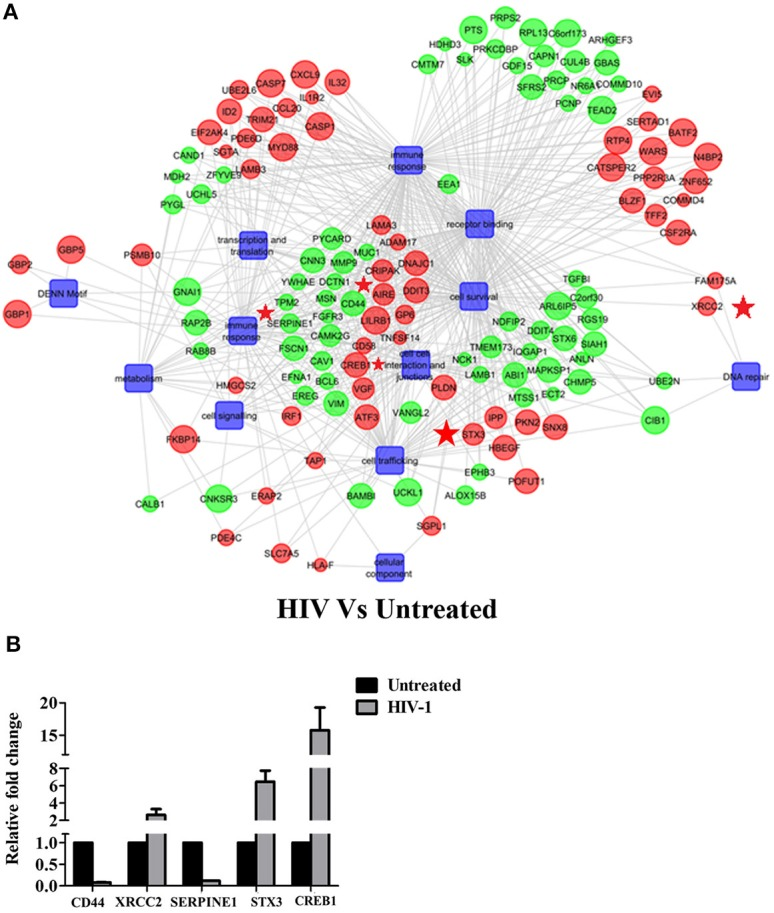 HIV-1 induced global gene signature of EpiVaginal tissues: (A) Gene regulatory network of differentially expressed genes and pathways by the EpiVaginal tissues treated with HIV-1 vs. Untreated EpiVaginal Control tissues. Biological processes are blue colored blocks downregulated genes are green colored, and upregulated are in red. Circles are sized according to their p -value. Genes that were used for validation (CD44, XRCC2, SERPINE1, STX3, CREB1) have been highlighted with a red star in their vicinity. (B) Validation of microarray data by real time qPCR. Ect/E6E7 cells were subjected to identical conditions and treatments as for EpiVaginal tissues. RNA was isolated and cDNA was subjected to real time qPCR. Data represents mean ± S. D of three independent experiments. Fold change in expression of the 5 genes for validation were statistically significant ( p