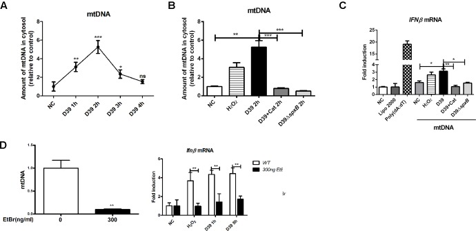 mtDNA leakage caused by S. pn -secreted H 2 O 2 was involved in IFN-I induction. (A) A549 cells were infected with D39 (MOI = 200) at indicated time points, DNA in the cytosolic fraction was isolated, and the copy number of mtDNA (mtDNA sequences as primers) was measured and normalized with the copy number of nuclear DNA (nuclear DNA sequences as primers). (B) A549 cells were stimulated with D39 with or without catalase (Cat) and D39Δ spxB (MOI = 200), as well as 1 mM H 2 O 2 for 2 h, DNA in the cytosolic fraction was isolated, and the copy number of mtDNA was measured and normalized with GAPDH. (C) A549 cells were transfected with cytosolic DNA isolated from different stimulations, including D39 with or without catalase (Cat) and D39Δ spxB , as well as H 2 O 2 , IFNβ mRNA level were determined by real-time PCR. POLY (dA: dT) (2 μg/ml) was applied as positive control. (D) mtDNA in A549 cells were evaluated by real-time PCR after being treated with EtBr (300 ng/ml) for 5 days (left panel). IFNβ mRNA level in A549 cells treated with 1 mM H 2 O 2 or D39 (MOI = 200) were determined by real-time PCR (right panel). NC, negative control. All data were presented as means ± SD from three independent experiments. ∗ P