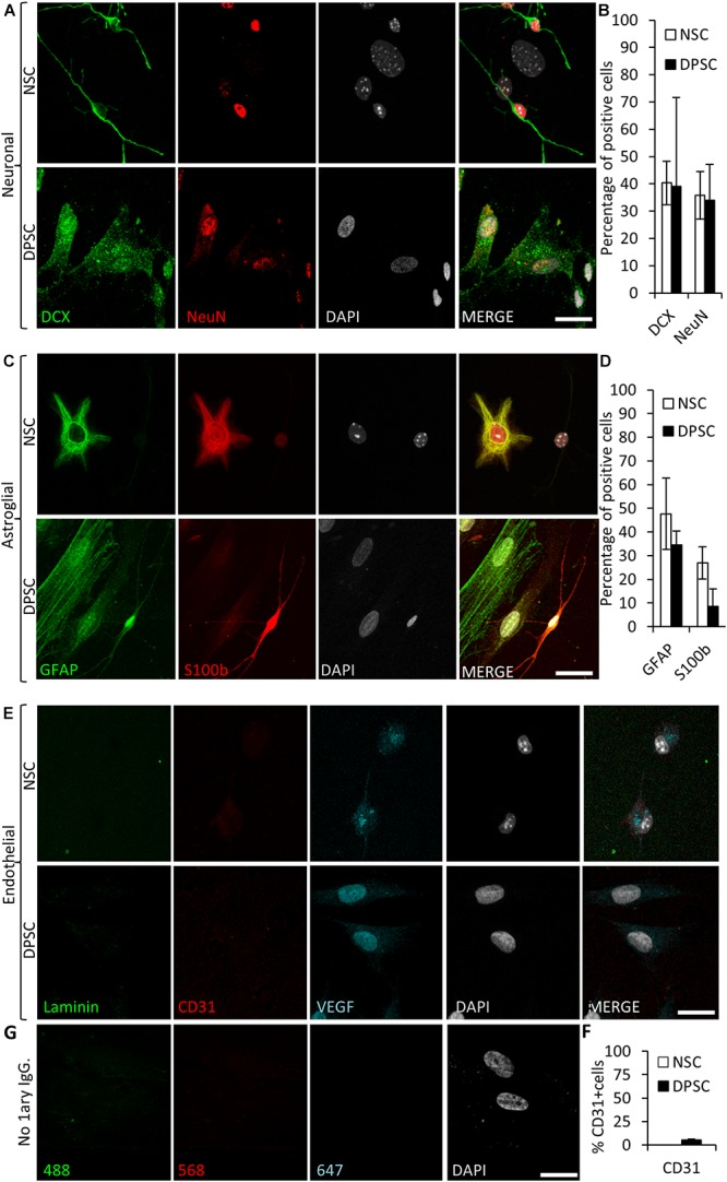 Human DPSCs are able to commit toward differentiation to neuronal-like and glial-like lineages. One week of culture of both human DPSCs and murine (control) NSCs in Neurocult differentiation media is sufficient to induce them express markers for (A) neuronal lineage differentiation: doublecortin (DCX) and NeuN staining, for immature and mature neurons, respectively, and (C) Astroglial lineage differentiation: glial fibrillary acidic protein (GFAP) and S-100β immunostaining, for immature and mature astrocytes, respectively. (B,D) Graphs showing quantifications (mean ± SEM, n = 360 cells) of three independent experiments. (E) After 1 week of growth in neural differentiation conditions, both NSCs and DPSCs still express VEGF but downregulate CD31. (F) Quantification of the proportion of CD31 positive cells ( n = 571). (G) Control with no 1 ary antibodies. Scale bar 20 μm.