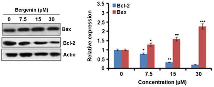 Effect of bergenin at indicated concentrations on the expression of Bax and Bcl-2 proteins in HeLa cells as shown in the western blot. The experiments were carried out in triplicates. The values were considered significant at *P