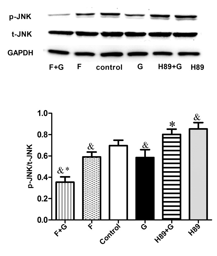 GLP-1 inhibits JNK activation via the cyclic adenosine monophosphate/PKA signaling pathway in RAW264.7 cells. RAW264.7 cells were preincubated with the adenylyl cyclase activator Forskolin (10 µM) or the PKA inhibitor H89 (10 µM) for 30 min, followed by treatment without or with GLP-1 (10 nmol/l) for 24 h. Cell extracts were prepared and analyzed by western blotting using anti-p-JNK, anti-JNK and anti-GAPDH antibodies. The results are representative of three independent experiments. P