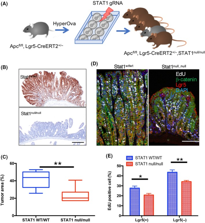 Disruption of Stat1 in a mouse model of FAP. (A) Stat1‐deficient mice were generated by introducing Stat1 sgRNA into zygotes carrying the Apc fl/fl , Lgr5‐CreERT2 +/− allele. (B) Immunohistochemical analysis of intestinal tumors. Apc fl/fl , Lgr5‐CreERT2, Stat1 wt/wt (Stat1 wt/wt ) or Apc fl/fl , Lgr5‐CreERT2, Stat1 null/null (Stat1 null/null ) mice were analyzed 26 days after administration of 4OHT. Immunohistochemical analysis is shown using an anti‐Stat1 antibody. Bar = 200 μm. (C) Disruption of Stat1 suppresses tumor formation. Tumors in the indicated mice (N = 6) were detected by immunohistochemistry using an anti‐β‐catenin antibody, and the tumor area was measured. ** P
