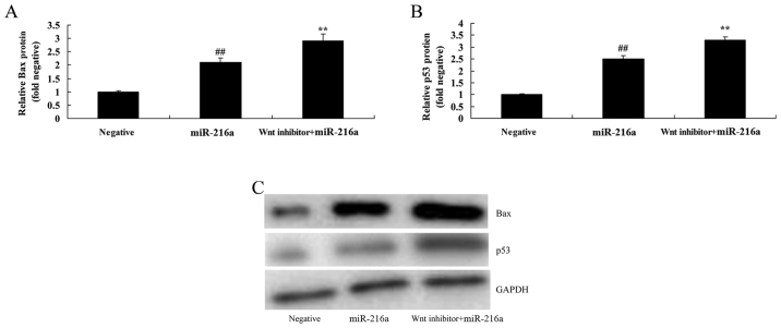 Inactivation of the Wnt pathway promotes Bax and p53 protein expression in MCF-7 cells following microRNA-216a treatment. (A and B) Bax and p53 protein expression by statistical analysis and (C) western blot analysis for Bax and p53 protein expression of MCF-7 cells. Negative, negative control group; miR-216a, microRNA-216a overexpression group; ## P