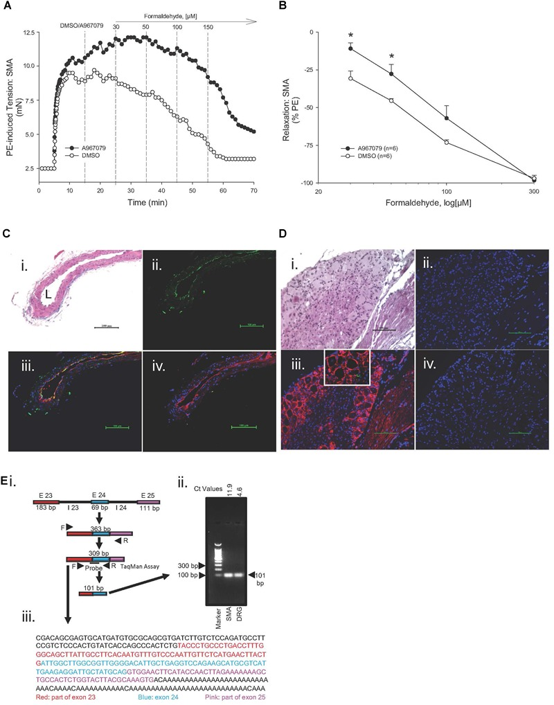 Role of the TRPA1 channel in formaldehyde (FA)-induced relaxation in phenylephrine (PE) pre-contracted SMA. (A) Representative traces of FA-stimulated relaxation of PE pre-contracted SMA in the absence (Control) and presence of the TRPA1 antagonist, A967079 (3 μM), which was added after PE-induced contraction plateaued and prior to cumulative addition of FA in wild type (WT) SMA. (B) Summary data of FA-induced relaxation in isolated SMA pre-contracted with PE in the absence and presence of TRPA1 antagonist. Immunofluorescence localization of TRPA1 in SMA (C) and in dorsal root ganglion (DRG; D ). Formalin-fixed and paraffin-embedded sections of murine organs were stained with H E (Ci, Di) ; TRPA1 only (green; Cii ) or DAPI only (blue, nuclear stain; Dii ); TRPA1 antibody (green), isolectin (red, endothelium) and DAPI (Ciii) or TRPA1 antibody (red) and DAPI (Diii) ; and, TRPA1 antibody, TRPA1 blocking peptide, isolectin and DAPI (Civ) or TRPA1 antibody, TRPA1 blocking peptide, and DAPI (Div). L, lumen of SMA. All images were at 200× magnification (scale bar = 100 μm). Ei ) Schematic depicting mouse mTrpa1 gene exons (E) 23 to 25 (with introns, I) and their length (in base pairs, bp). TRPA1 mRNA with the spliced exons 23 to 25 makes a 309 bp product as indicated by TRPA1 specific primers used. (Eii) Agarose gel electrophoresis of PCR amplified product from 309 bp cDNA by qRT-PCR (101 bp product from SMA or DRG of WT mouse using TaqMan Assay for TRPA1; ct values indicated). (Eiii) DNA sequence of 309 bp PCR product identified as TRPA1. Sequence of DRG PCR product (309 bp) was used as validation (data not shown). Values are means ± SE of 3–4 preparations. ∗ , P