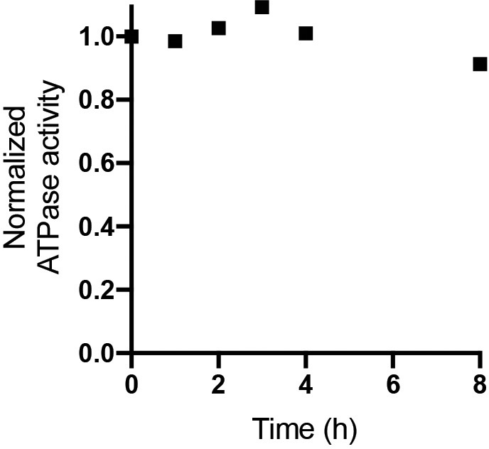 ATPase activity of digitonin solubilized E. coli F 1 F o ATP synthase. E. coli F 1 F o ATP synthase purified in digitonin was incubated at room temperature and assessed for ATPase activity at 37°C was measured at 0, 1, 2, 3, 4 and 8 hr time points. ATP regeneration assays were performed as described in. ATPase activity normalized to 80 s −1 showed little change over 8 hr. The rate of ATP hydrolysis was measured with an ATP-regenerating coupled assay that resulted in a final concentration of 50 mM Tris–HCl (pH 8.0), 10 mM KCl, 2.5 mM phosphoenolpyruvate, 0.3 mM NADH, 50 μg/ml pyruvate kinase, 50 μg/ml lactate dehydrogenase, and 2 mM MgCl2 and 1 mM ATP. The rate was determined from the linear change in absorbance at 340 nm, once activity achieved steady-state.