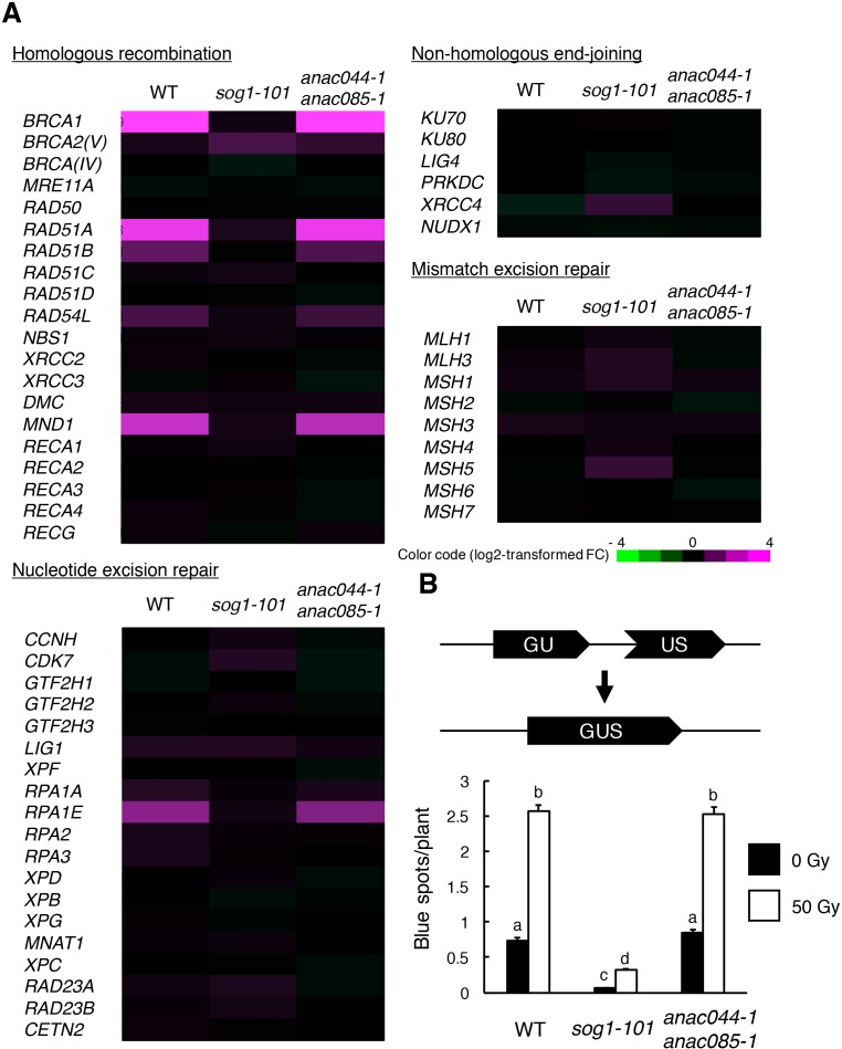 ANAC044 and ANAC085 are not required for HR-mediated DNA repair. ( A ) Transcriptional response of DNA repair-related genes to bleomycin. Five-day-old seedlings of WT, sog1-101 and anac044-1 anac085-1 were treated with or without 0.6 µg/ml bleomycin for 10 hr. Total RNA was extracted from root tips and subjected to microarray analysis. Purple and green colours indicate up- and down-regulation, respectively, of genes by bleomycin treatment. ( B ) HR assay. The GUS reporter constructs before and after HR are shown (upper panel). Two-week-old plants of WT, sog1-101 and anac044-1 anac085-1 carrying the GUS reporter construct were irradiated with or without gamma rays (50 Gy), and grown for 3 days. Numbers of blue spots on leaves were counted. Data are presented as mean ± SD (n = 50). Different letters indicate significant differences between samples (Student's t -test, p