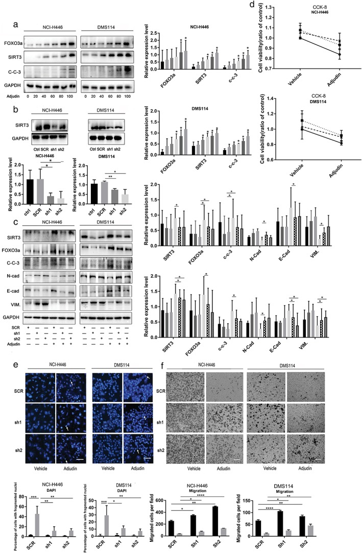 Knockdown of sirtuin 3 (SIRT3) partially restored the anticancer effect of Adjudin on small‐cell lung cancer. (a–c) Cells were treated with Adjudin as mentioned in Fig 1 a. Then, the expression of sirtuin 3 (SIRT3) and Forkhead box O3a (FOXO3a) was assessed by western blotting. ( a ) GAPDH was used as a loading control NCI‐H446 ( ) 0 μM, ( ) 20 μM, ( ) 40 μM, ( ) 60 μM, ( ) 80 μM, and ( ) 100 μM, and DMS114 ( ) 0 μM, ( ) 20 μM, ( ) 40 μM, ( ) 60 μM, ( ) 80 μM, and ( ) 100 μM. ( b ) The knockdown effect of SIRT3 silencing plasmid was determined by western blotting. NCI‐H446 and DMS114 cells were transfected with vehicle or SIRT3 silencing shRNA with Lipofectamine 3000 reagent for 24 hours, and then cells were exposed to Adjudin for another 24 hours, western blot analysis of cleaved‐caspase‐3 (c‐c‐3) (Adjudin: 60 μM) and EMT‐related protein (E‐cadherin, N‐cadherin, and vimentin) levels (Adjudin 40 μM) ( c ) Vehicle ( ) SCR, ( ) sh1, and ( ) sh2 and Adjudin ( ) SCR, ( ) sh1, and ( ) sh2. ( d ) Cells were treated as described in Fig 3 c (Adjudin: 60 μM). Afterwards, cell proliferation was detected using Cell Counting Kit‐8 assays NCI‐H466 ( ) SCR, ( ) sh1, and ( ) sh2 and DMS114 ( ) SCR, ( ) sh1, and ( ) sh2. ( e ) Apoptotic cells were assessed by nuclear fragmentation and condensation (arrows) using DAPI staining. Scale bar, 100 μm. Cells were treated similarly as in Fig 3 c ( ) vehicle, and ( ) Adjudin. (f) Transwell assays were used to access cell migration. Cells were treated similarly as in Fig 3 c, with Adjudin (40 μM) ( ) vehicle, and ( ) Adjudin. Data were representative of three independent experiments. Values are presented as the mean ± SD, n = 3; one‐way anova test: * P