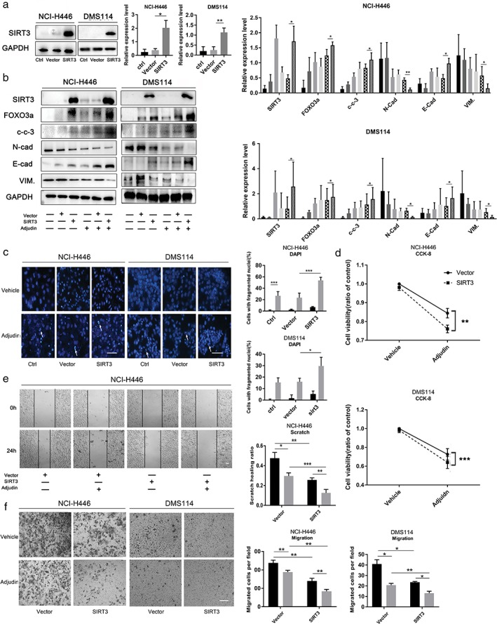 Overexpression of sirtuin 3 (SIRT3) enhanced the efficacy of Adjudin in small‐cell lung cancer cells. ( a ) Western blot analysis of SIRT3 and Forkhead box O3a (FOXO3a) in vector and SIRT3‐overexpressed transfected cells. After transfection for 24 hours, cells were treated with Adjudin (60 μM) for another 24 hours. ( b ) Western blot analysis of SIRT3, FOXO3A, cleaved caspase‐3 and EMT‐related marker (E‐cadherin, N‐cadherin and vimentin) levels vehicle ( ) ctrl, ( ) vector, and ( ) SIRT3, and Adjudin ( ) ctrl, ( ) Vector, and ( ) SIRT3. ( c ) Apoptotic cells were assessed by nuclear fragmentation and condensation (arrows) using DAPI staining. Cells were treated as described in ( b ) NCI‐H446 ( ) vehicle, and ( ) Adjudin and DMS114 ( ) vehicle, and ( ) Adjudin. ( d ) Cell proliferation was detected using Cell Counting Kit‐8 assays. Cells were treated as described in B NCI‐H446 ( ) vector, and ( ) SIRT3 and DMS114 ( ) vector, and ( ) SIRT3. ( e ) Scratch NCI‐H446 ( ) vehicle, and ( ) Adjudin and ( f ) Transwell assays were used to evaluate cell migration NCI‐H446 ( ) vehicle, and ( ) Adjudin and DMS114 ( ) vehicle, and ( ) Adjudin. Cells were treated similarly as in Fig 4 b, with Adjudin (40 μM). Values are presented as the mean ± SD, n = 3; one‐way anova test: * P