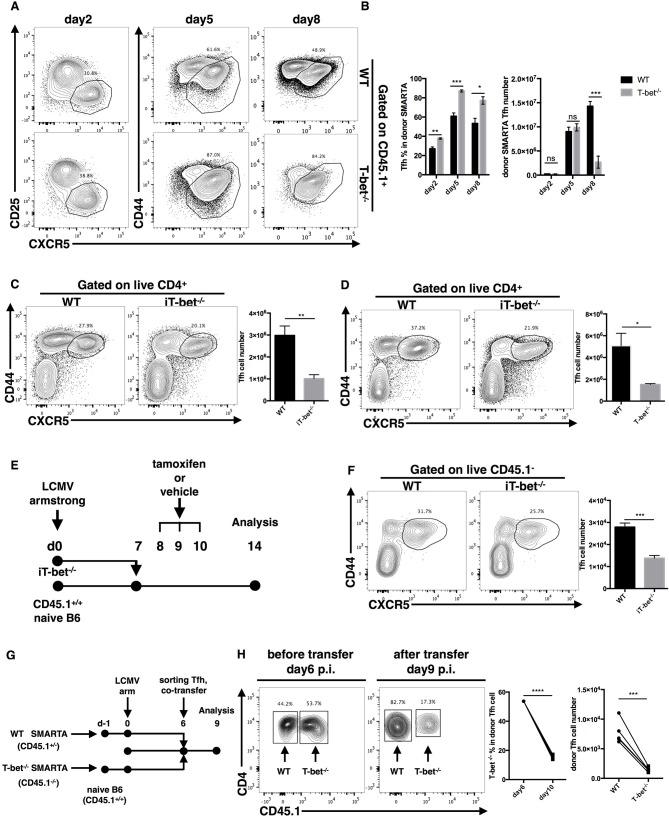 T-bet promotes TFH cell maintenance. (A,B) WT or Tbx21 −/− SMARTA cells (CD45.1 + ) were transferred into naïve WT mice (CD45.2 + ), which would be infected with LCMV. Splenocytes were isolated and analyzed for TFH response at day2, 5 and 8 post infection. Flow cytometry of TFH cells derived from transferred SMARTA cells (A) , and the summary of the percentages and numbers of those cells (B) . (C,D) WT and iT-bet −/− mice were treated with Tamoxifen for 3 days before or after LCMV infection. Spleens were harvested at day 9 post infection. (C) Flow cytometry of TFH cells (left) with its number (right) in mice treat with Tamoxifen before infection (day−3 to−1). (D) Flow cytometry of TFH cells (left) with its number (right) in mice treat with Tamoxifen after infection (day 5–7). (E) Setup of CD4 + T cell transfer experiment. CD4 + T cells were purified form spleens of iT-bet −/− mice (CD45.2 + ) without Tamoxifen treatment and adoptively transferred into infection-matched recipient mice (CD45.1 + ). At day 8–10 post infection, recipient mice were treated with Tamoxifen or vehicle. Spleens were harvested at day 14 post infection. (F) Representative flow cytometry of TFH cells (left) and summary of TFH cell number (right) in Tamoxifen treated mice (iTbx21 −/− ) and vehicle treated mice (WT) was showed here. (G) Setup of TFH co-transfer experiments. WT SMARTA cells (CD45.1 + CD45.2 + ) and Tbx21 −/− SMARTA cells (CD45.1 − CD45.2 + ) were transferred into naïve B6 mice (CD45.1 + CD45.2 − ) separately before infecting recipients with LCMV. At day 6 post infection, WT SMARTA TFH cells and Tbx21 −/− SMARTA TFH cells were FACS sorted and mixed (about 1:1), then co-transferred into infection-matched B6 mice (CD45.1 + CD45.2 − ). Spleens were harvested and analyzed for transferred TFH cells at day 9 post infection. (H) Flow cytometry of sorted SMARTA TFH cells before (day 6 p.i.) and after (day 9 p.i.) co-transfer (left). The percentage of Tbx21 −/− SMARTA TFH cells in total don