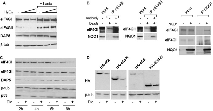 eIF4GI and eIF4GII, but not DAP5, are degraded under oxidative stress. (A) NIH-3T3 cells were untreated or treated with increasing concentration of H 2 O 2 in the presence or absence of lactacystin (described in Alard et al., 2009 ), and protein extracts were subjected to western-blotting as indicated. (B) NIH-3T3 cell extracts were subjected to western-blotting with the indicated antibodies either directly (input) or after immunoprecipitation (IP) with either eIF4GI or eIF4GII antibodies (left). NIH-3T3 extracts of cells either untransfected of transfected with <t>NQO1</t> cDNA were subjected to western-blotting with the indicated antibodies either directly (input) or after immunoprecipitation (IP) with NQO1 antibodies (right). (C) NIH-3T3 cells were untreated or treated with 300 μM dicumarol (Dic) at different times and proteins were visualized by western-blotting as indicated. (D) Following transfection with HA-tagged, full-length or N-terminal cDNAs, NIH-3T3 cells were untreated or treated with 300 μM dicumarol for 8 h and proteins visualized by western-blotting as indicated.