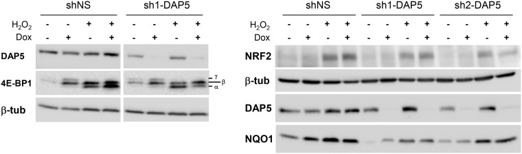 Induction of NRF2 and NQO1 proteins under oxidative stress is independent of DAP5. Protein extracts of stably transfected NIH-3T3 cells grown in the absence or presence of doxycycline (Dox) for 48 h and untreated or treated with 1 mM H 2 O 2 for 4 h were subjected to western-blotting with the indicated antibodies. The bottom-to-top α–β–γ symbols denote hypo- to hyperphosphorylated 4E-BP1 isoforms.