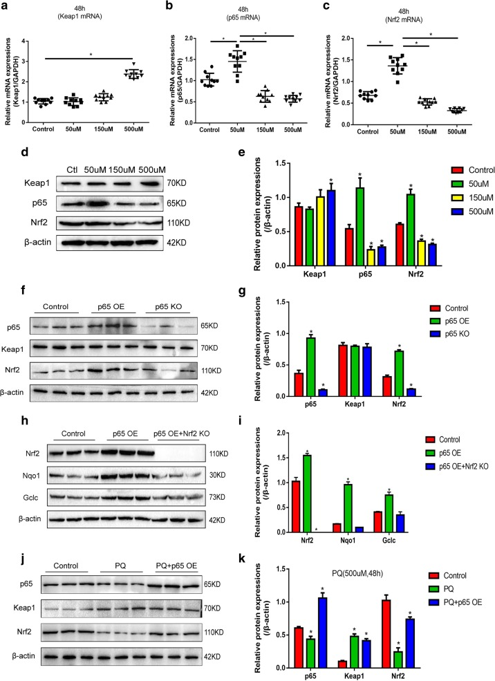 """PQ's influences on p65 and the activation of Keap1/Nrf2 signal pathway. a , b , c Real-time qPCR quantification of Keap1, p65, Nrf2 expressions, and normalized by GAPDH, each assay had 10 repetitions. d Western Blot was used to verify the expressions of Keap1, p65, and Nrf2 at protein levels. e Quantification of Keap1, p65, and Nrf2 by ImageJ software according to ( d ). f p65's impacts on the expressions of Keap1 and Nrf2 were detected by Western Blot and g quantified by ImageJ software. h p65's effects on Nrf2 downstream targets were detected by Western Blot and i quantified by ImageJ software. j High dose of PQ's (500 μM) effects on p65, Keap1, and Nrf2 were detected by Western Blot and k quantified by ImageJ software. Each assay had 3 repetitions (the data are presented as mean ±SD, """"*"""" means statistical significance, p"""